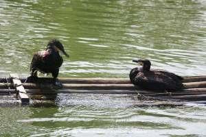 Cormoranes en la balsa