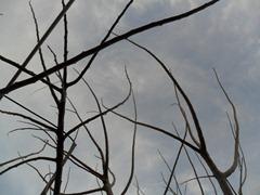 Ciruelo invernal