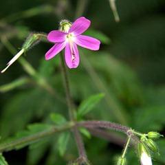 Geranium_canariensis