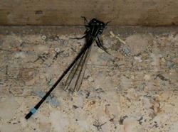Una libélula1