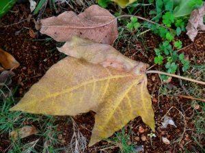 hojas de nogal