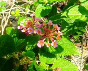 Flores de menta americana2