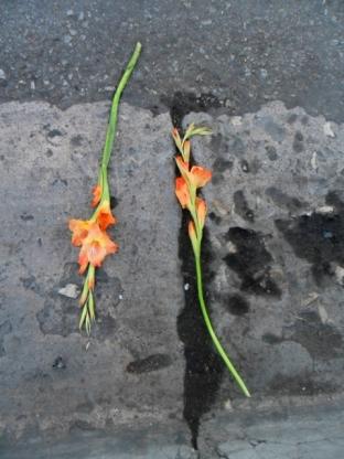 Gladiolos en el asfalto1