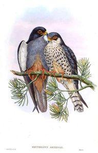FalcoAmurensisGould