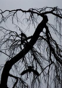 paloma en el cerezo a