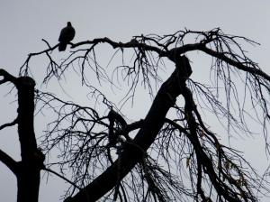 paloma en el cerezo